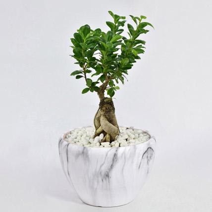 Bonsai Plant In Green Pot: Aloe Vera Plants