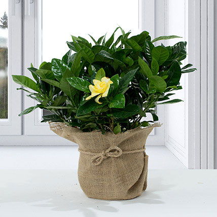 Gardenia Jasminoides with Jute Wrapped Pot: Shrubs