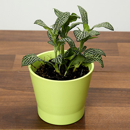 Green Fittonia Plant In Green Ceramic Pot: Plants