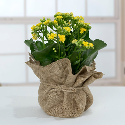 Jute Wrapped Yellow Kalanchoe Plant: Shrubs