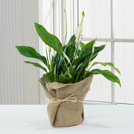 Spathiphyllum Jute Wrapped Potted Plant: Home Decor Items