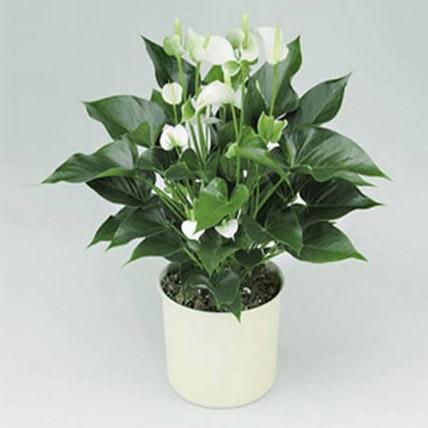 White Anthurium Plant: Anthuriums
