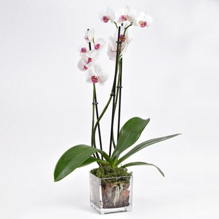 Pink Phalaenopsis Orchid Plant: Flowering Plants