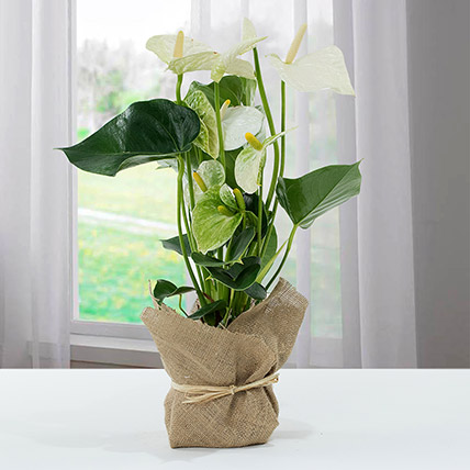 White Anthurium Jute Wrapped Potted Plant: Diwali Gifts 2020