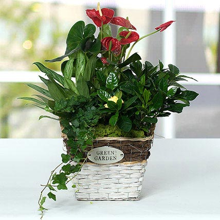 Mesmerising Green Basket Beauty: Dish Gardens