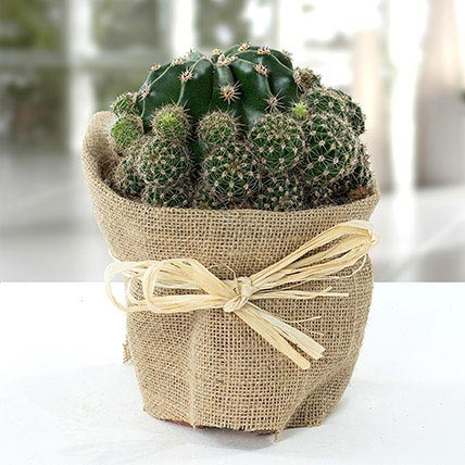 Elegant Cactus with Jute Wrapped Pot: Outdoor Plants to Umm al-Quwain