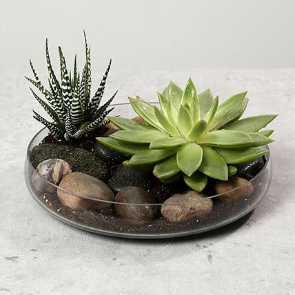 Green Echeveria and Haworthia with Natural Stones: Succulent Plants