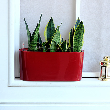 Sansevieria Plant in Red Plastic Pot: Outdoor Plants
