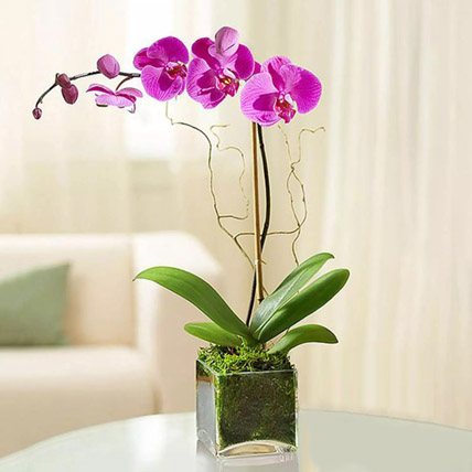 Purple Orchid Plant In Glass Vase: