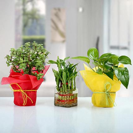 Set of 3 Good Luck Plants: Money Plant