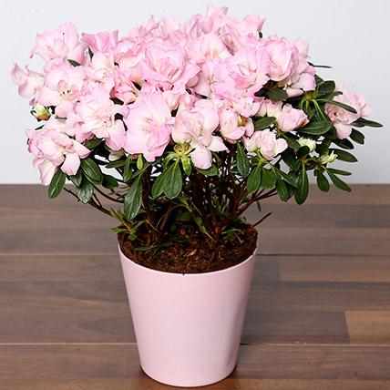 Beautiful Pink Azalea Plant: Plants