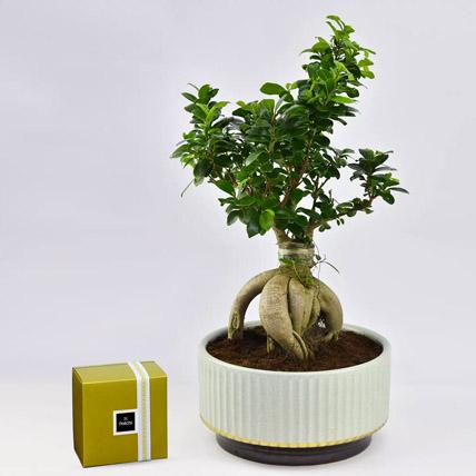 Bonsai Plant In Green Pot and Patchi Chocolates: Aloe Vera Plants