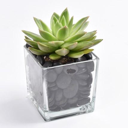 Green Echeveria Plant In Square Vase: Plants