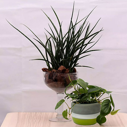Combo of Sansevieria and Money Plants: Money Plant
