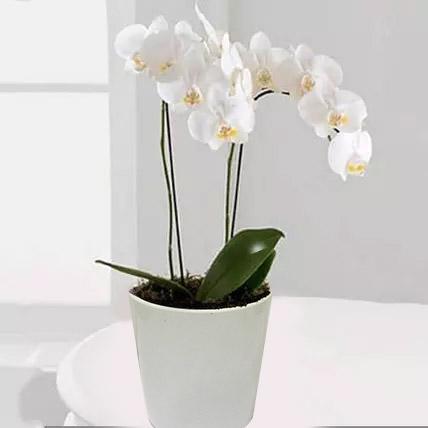 White Phalaenopsis Orchid Plant: