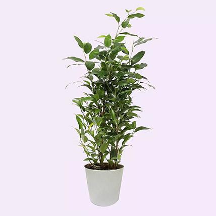 Ficus Plant In Ceramic Pot: Air Purifying Indoor Plants