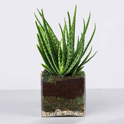 Aloe Vera Plant in Square Vase: