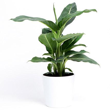 Dieffenbachia Green Magic In Ceramic Pot: