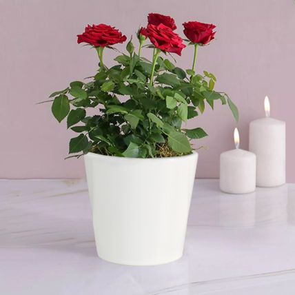 Red Rose Plant: Plants