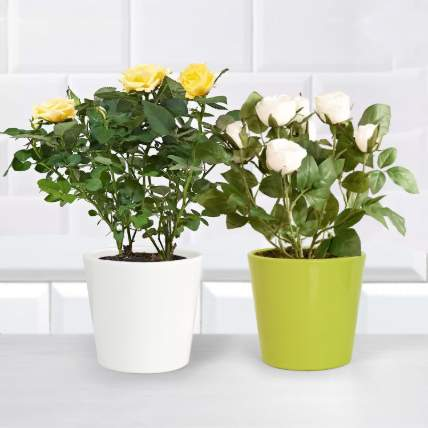 Yellow and White Rose Plant: