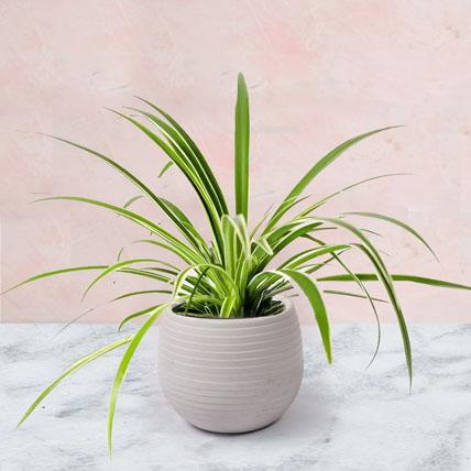 Chlorophytum Plant In Ceramic Pot: Air Purifying Indoor Plants