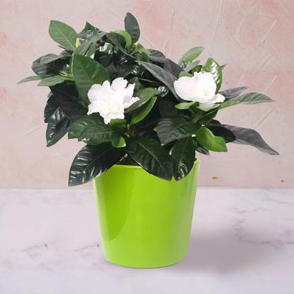 Gardenia Jasminoides Plant In Ceramic Pot: Plants for Birthday Gift
