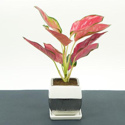 Beautiful Red Aglaonema Plant In Designer Square Pot: