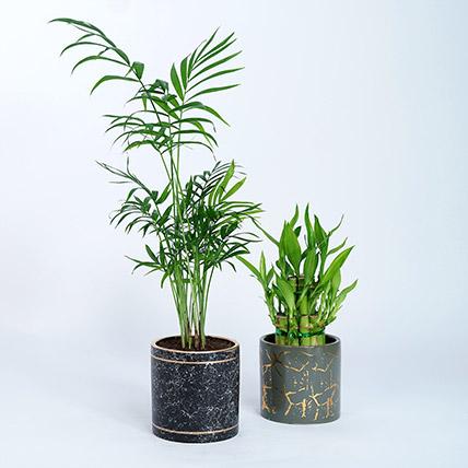Chamaedorea Lucky bamboo Plant: Bamboo Plant