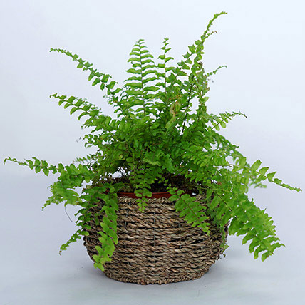 Nephrolepis Plant In Beautiful Basket: