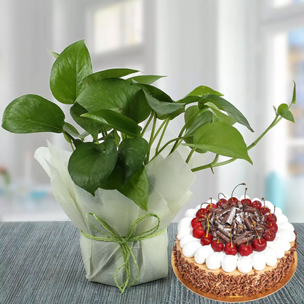 Money Plant and Blackforest Cake Combo: