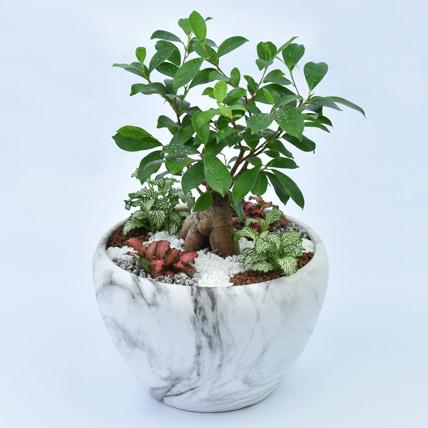 Bonsai & Fittonia Plant In Platter Planter: