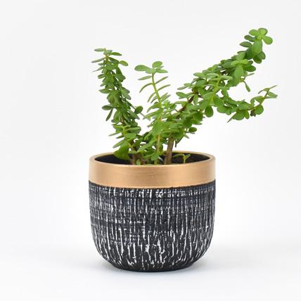 Jade Plant In Black Pot: Indoor Bonsai Tree