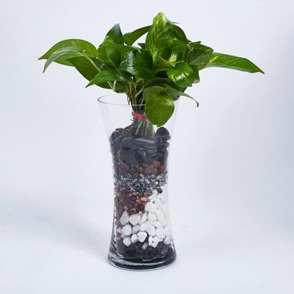 Money Plant in Tall vase: Desktop Plants