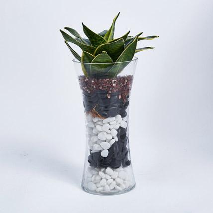 Sanseveria Plant in Tall Vase: Desktop Plants
