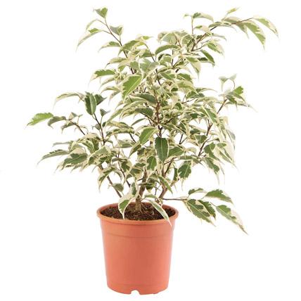 Ficus Benjamina Plant Pot: Outdoor Plants in Dubai