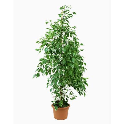 Ficus Benjamina Starlight Plant Pot: Outdoor Plants in Dubai