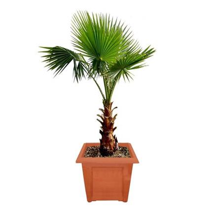 Mexican Fan Palm Plant Pot: Outdoor Plants in Dubai