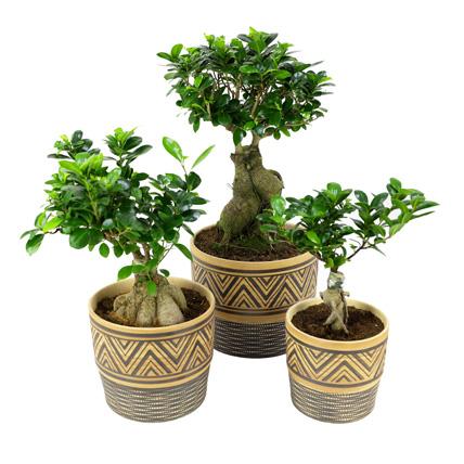 Set Of 3 Ficus Bonsai Plants: Indoor Bonsai Tree