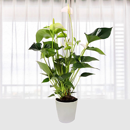 White Anthurium Plant In Pineapple Design Pot: Plants