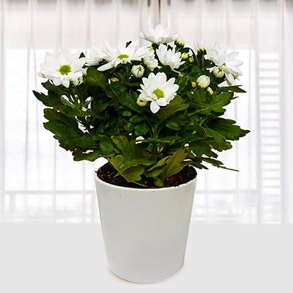 White Chrysanthemum Plant: Indoor Plants To Qatar