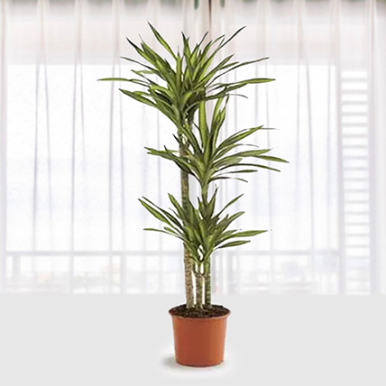 Dracaena Rikki: Outdoor Plants To Qatar