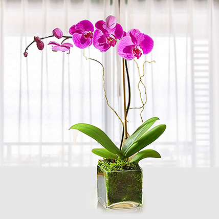Purple Orchid Plant In Glass Vase: Plants Delivery in Qatar