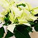 Poinsettia Plant In White Pot