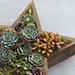 Wood Star Succulent